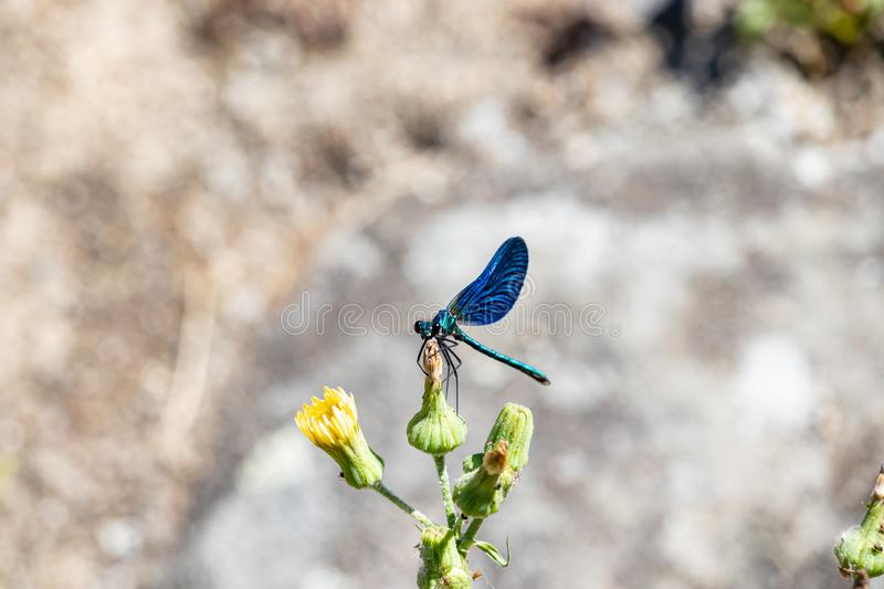Blue dragonfly resting on top of a yellow flower stock photo
