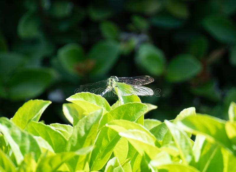 A picture of beautiful blue dragonfly stock photos