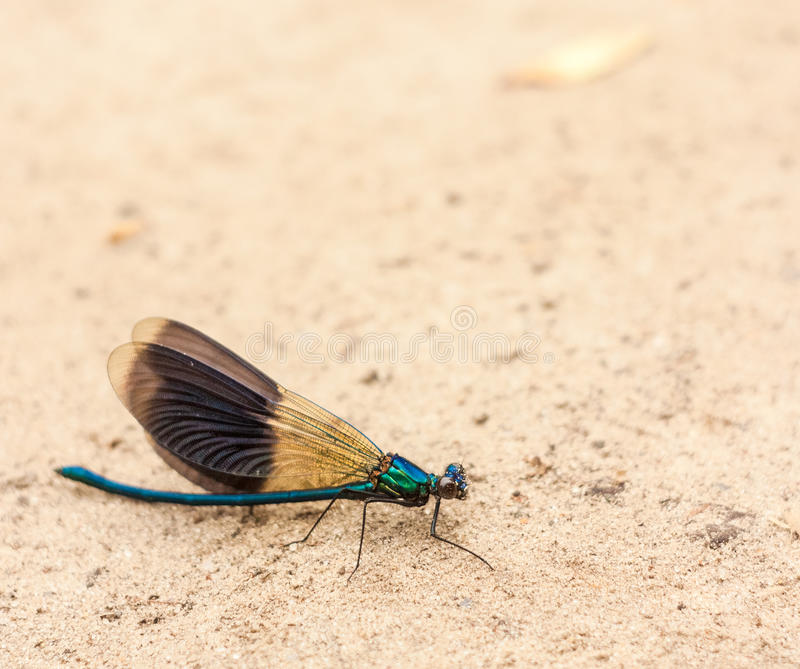 Blue Dragonfly On Sand. Blue Dragonfly Resting On Sand royalty free stock photos