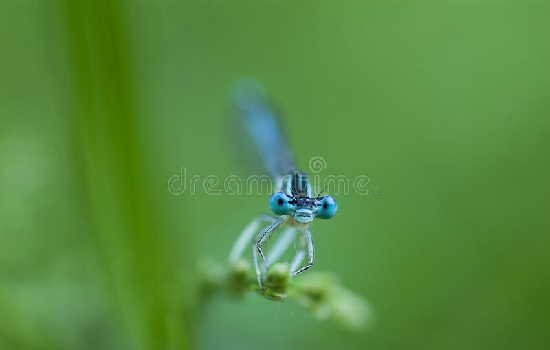 Blue dragonfly sits on a blade of grass on a green. Natural background stock image