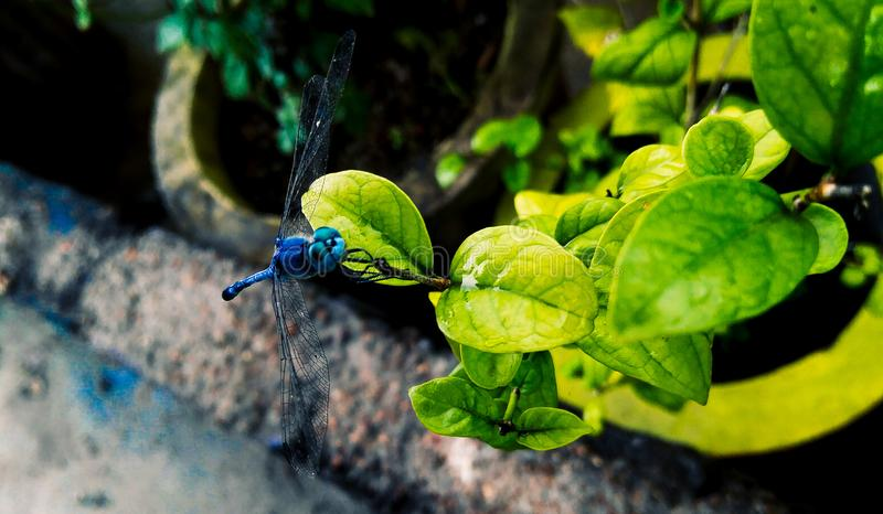Blue dragonfly sitting in the green leaf plant growing in the garden, nature photography stock photos