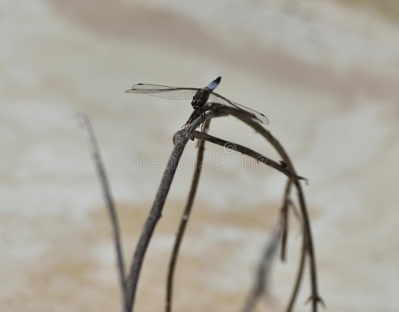 Blue dragonfly stalk plant transparent wings with defined nerves. Blue dragonfly plant wings nerves brown eyes stock image