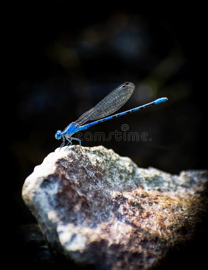 Blue Dragonfly and black background. A blue Dragonfly standing on a boulder in nature royalty free stock photography
