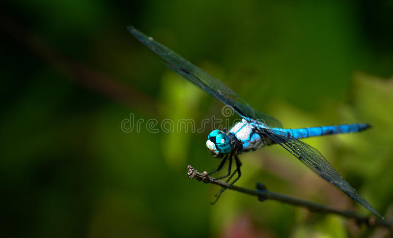 Download Blue dragonfly stock image. Image of wing, animal, spread - 15626835