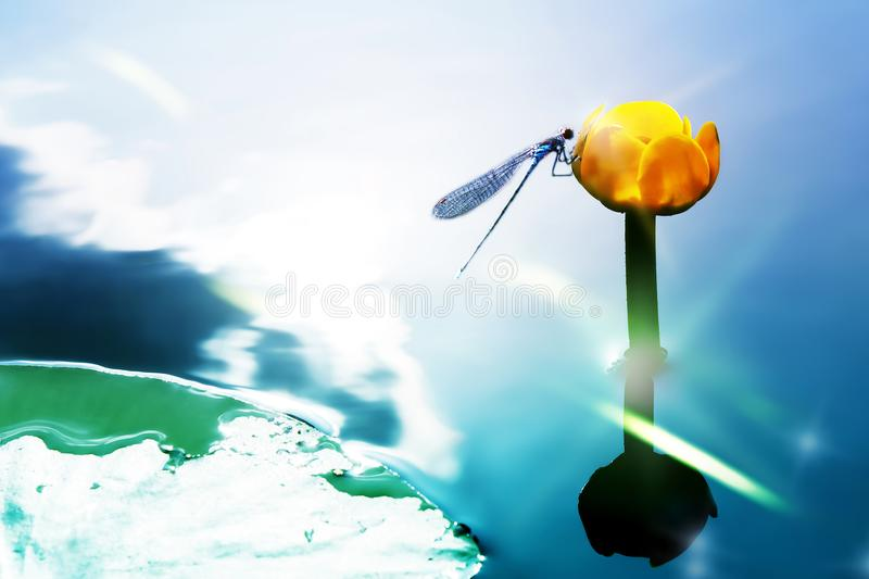 A blue dragonfly on a yellow water lily against the background of a watery surface. Artistic image. Selective focus royalty free stock image