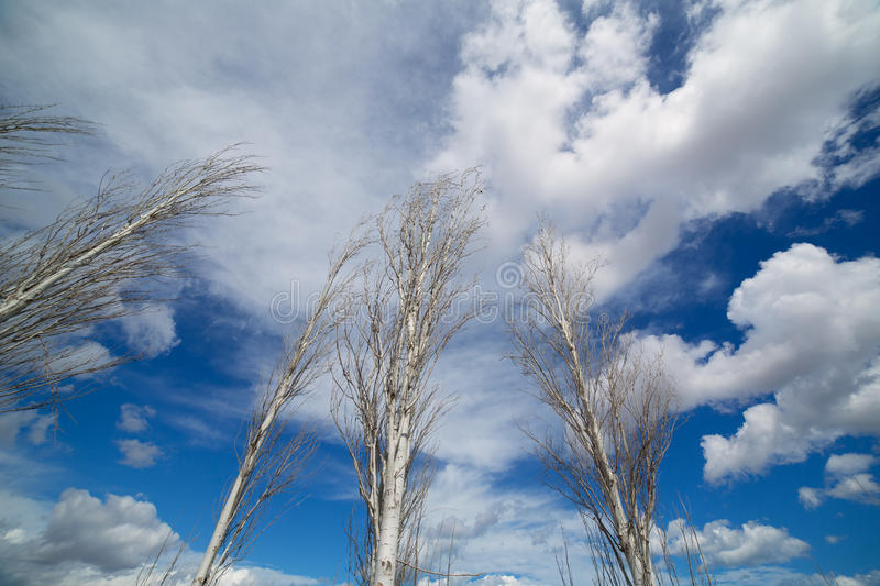 Download Blue Dramatic Sky In Winter With Leafless Poplar Stock Image - Image: 35764465