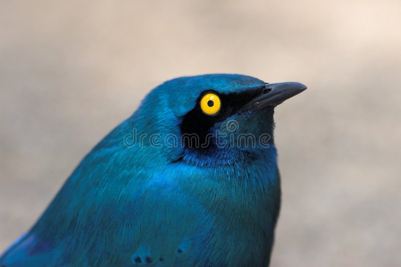 Blue-Eared Starling. Close up of a Greater Blue-Eared Starling royalty free stock image