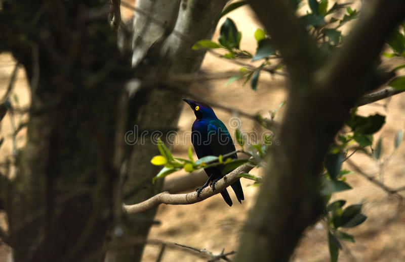 Download Blue-eared Starling Royalty Free Stock Photo - Image: 23685245