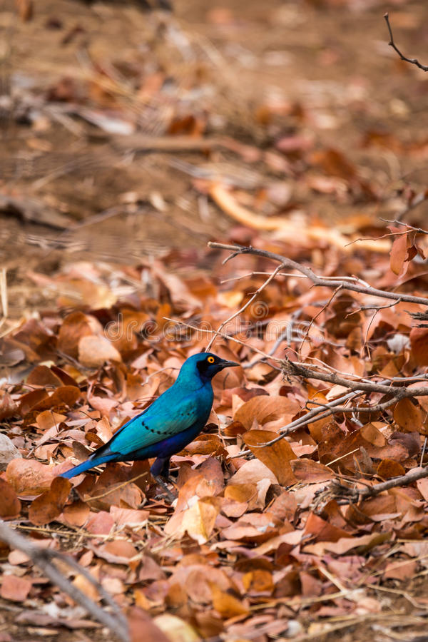 Blue-Eared Starling Lamprotornis chalybaeus Sitting on Ground, South Africa. Kruger Park stock images