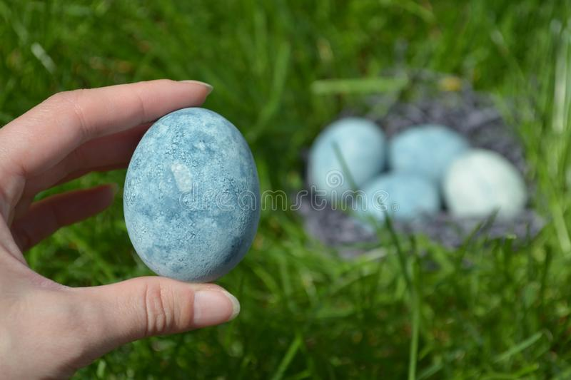 Blue egg, painted in tea hibiscus, lies in female hand on the background of grass and eggs, like dragon eggs and marble stock image