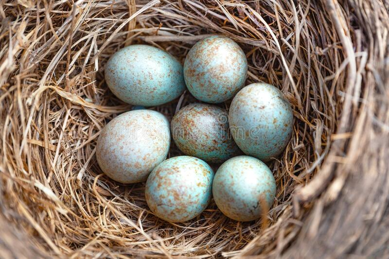 Blue eggs of Thrushes,Turdidae.Seven bird eggs in the nest.Close up.Blur focus.Ð¡oncept of bird breeding, keeping savings in one royalty free stock photos