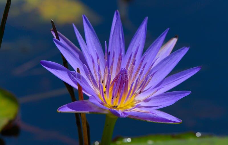 Blue Egyptian lotus stock photography
