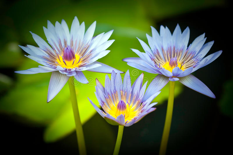 Blue Egyptian water lilies royalty free stock images