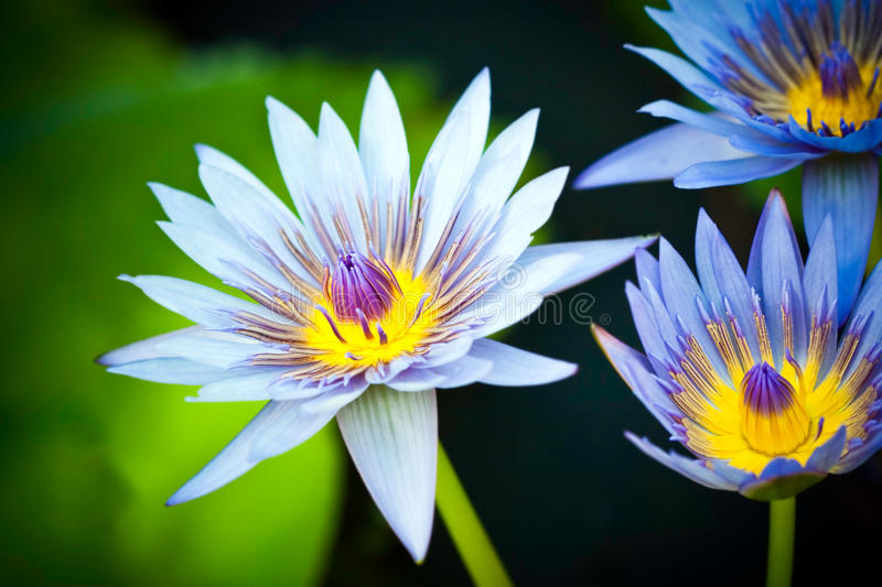 Blue Egyptian water lilies stock images