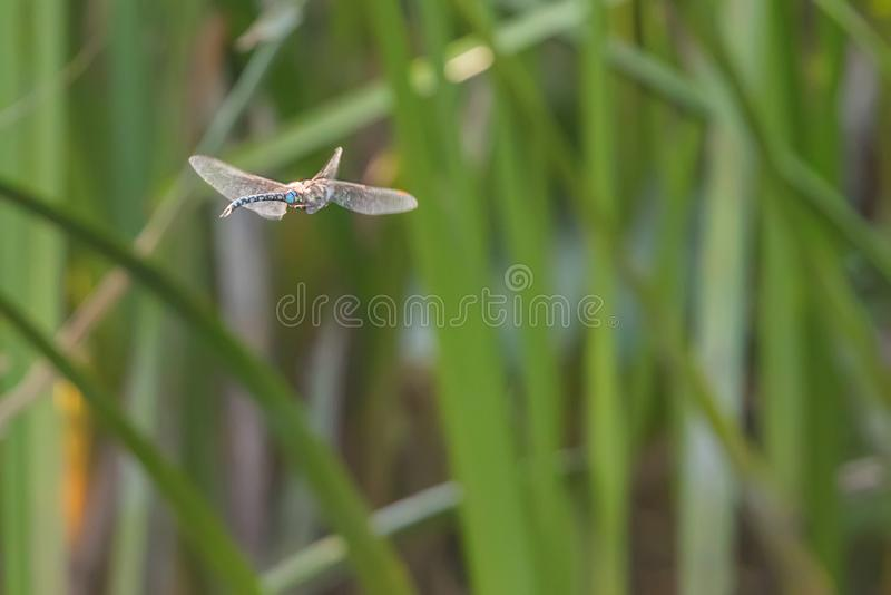 Blue Emperor Dragonfly hovering in flight Anax imperator royalty free stock image