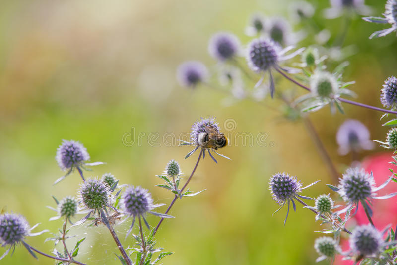 blue Eryngium royalty free stock photos
