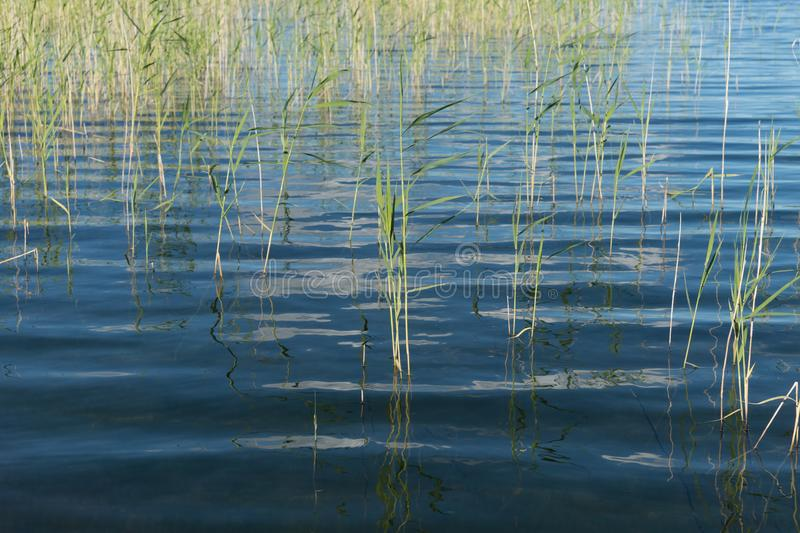 Blue expanse of lake with water reed growing out of the water stock image