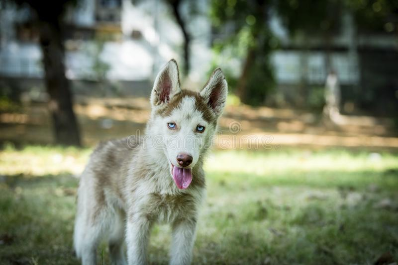 Blue eyed beautiful Husky Puppy. Cute blue eyed siberian husky puppy curiously looking at camera royalty free stock images