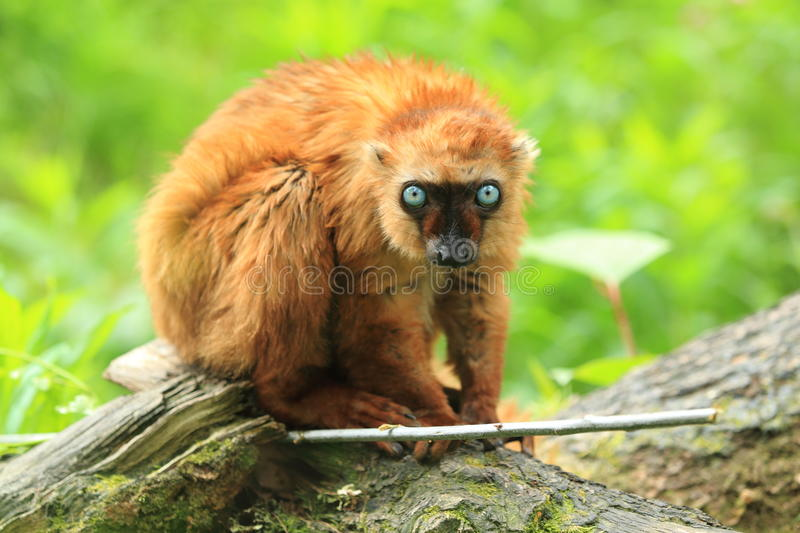 Blue-eyed black lemur. Sitting on the wood trunk royalty free stock photos