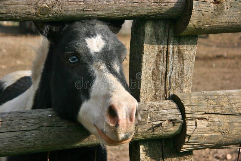 Download Blue Eyed Black And White Pony Stock Image - Image of fence, geltle: 3490939