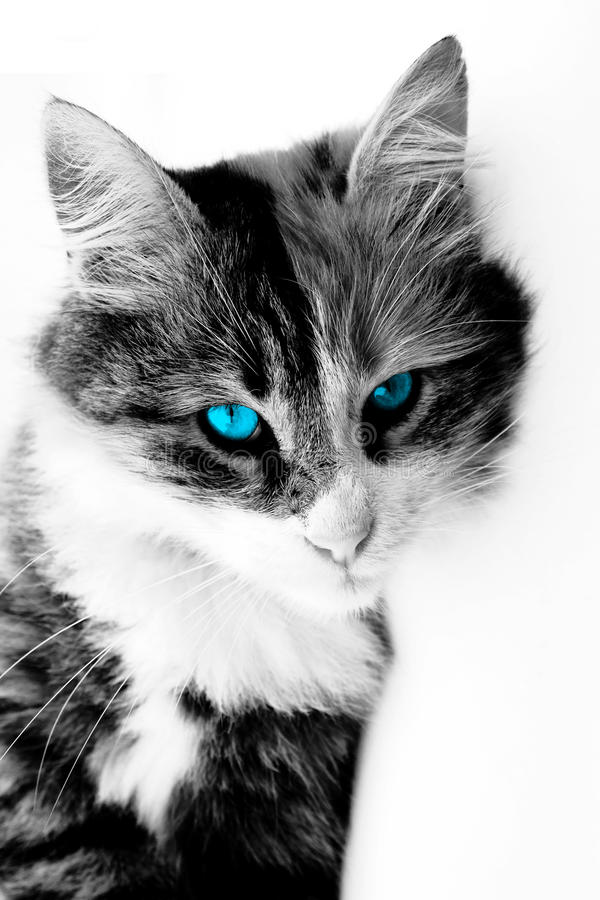 Blue-eyed cat. Blue eyed cat on isolated background royalty free stock image