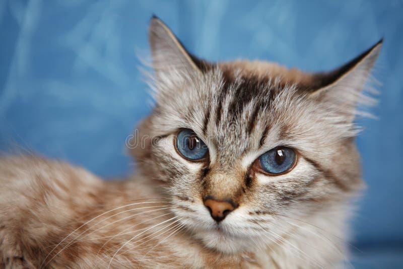 Blue-eyed Cat Stock Image
