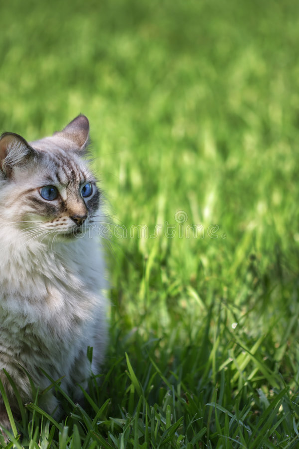 Download Blue eyed cat stock image. Image of backdrop, look, grass - 3371659
