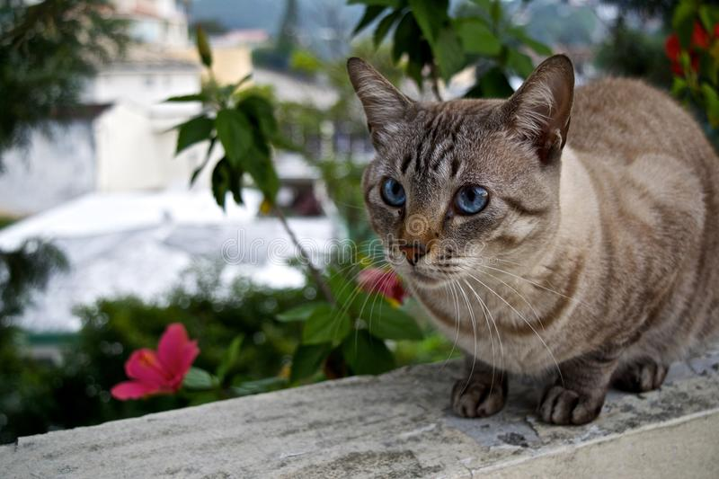 Blue Eyed Cat. A blue-eyed cat perched on a balcony ledge stock image