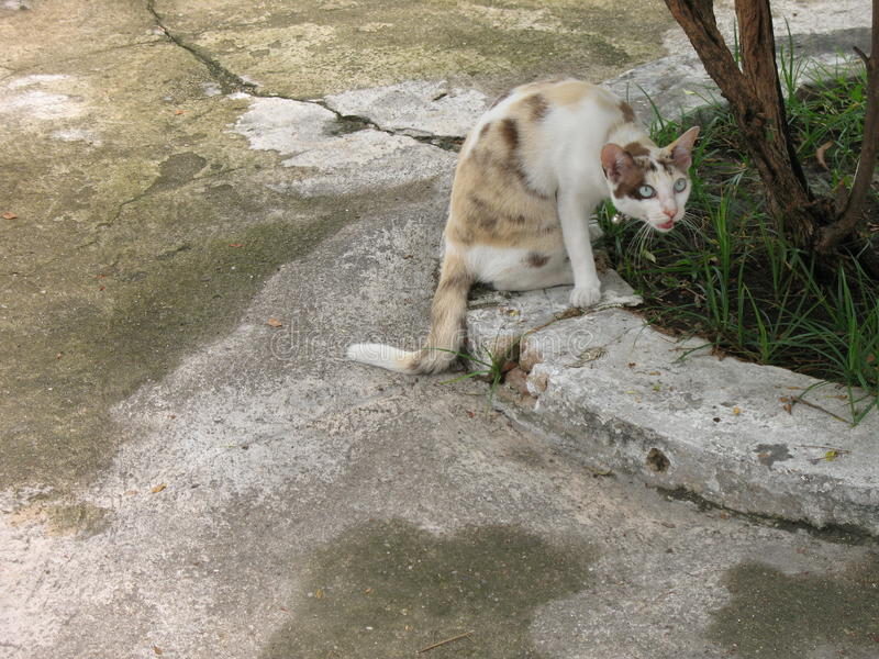 Blue-eyed cat stock photos