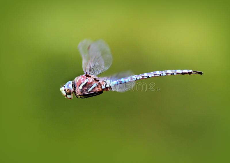 Blue-eyed Darner Dragonfly in Flight royalty free stock photography