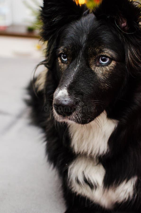 Blue eyed dog royalty free stock photos
