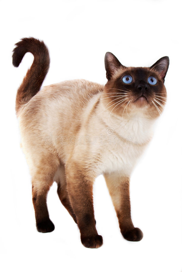 Blue eyed domestic cat. Of Thai breed royalty free stock photos