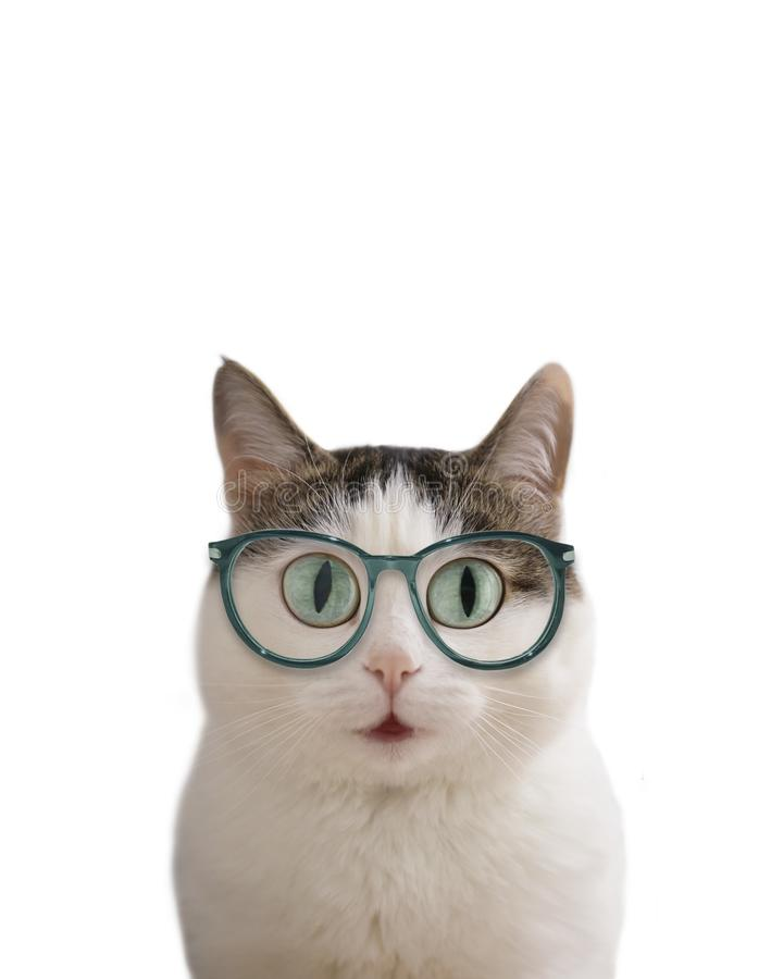 Blue eyed funny cat in eye wear sight correction glasses close up photo royalty free stock image