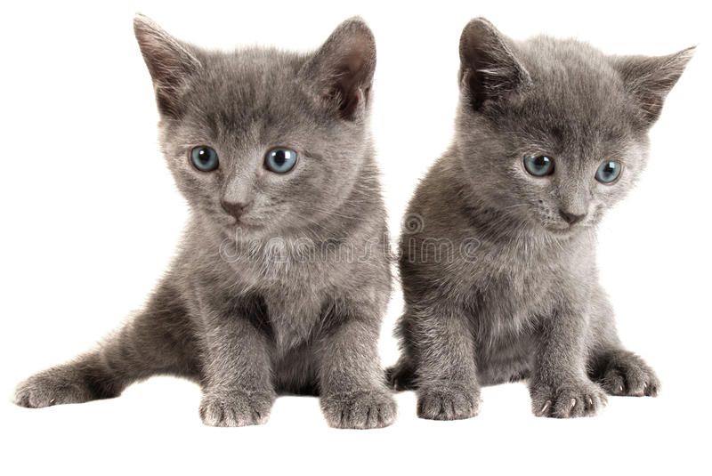 Blue eyed grey kittens on white. Two Blue Eyed Gray Kittens on White Background royalty free stock photo