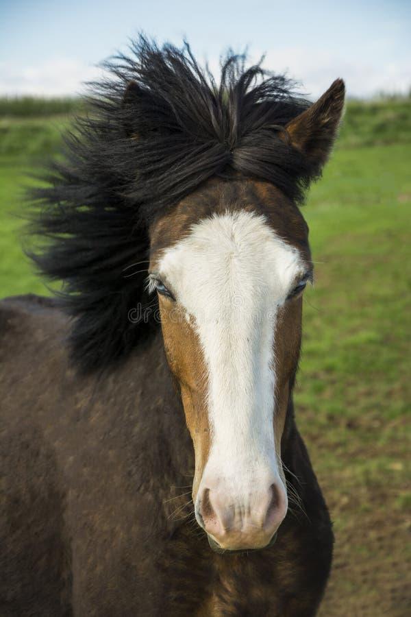 Blue eyed icelandic horse. Serene icelandic horse with blue eyes royalty free stock images