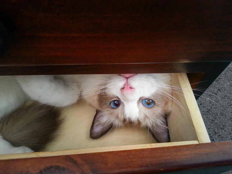 Blue-eyed kitten in a drawer. Cute white kitten with blue eyes and a pink nose lying on her back in a wooden drawer. The ragdoll cat is peaking out and looking royalty free stock photography