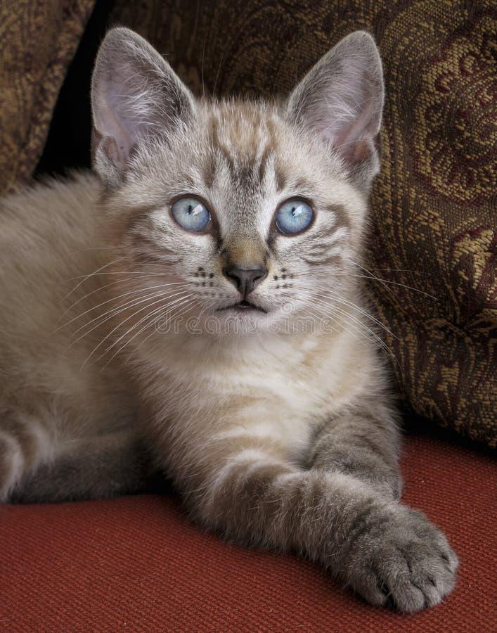 Download Blue Eyed Kitten Stock Image - Image: 31713031