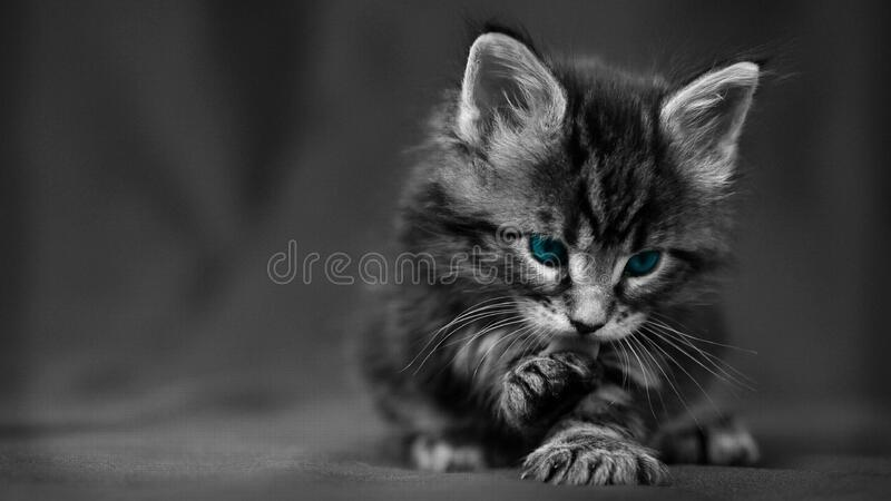 Blue eyed kitten stock photography