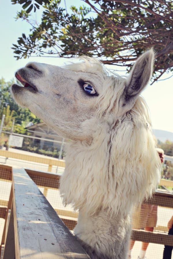 Blue eyed llama royalty free stock photography