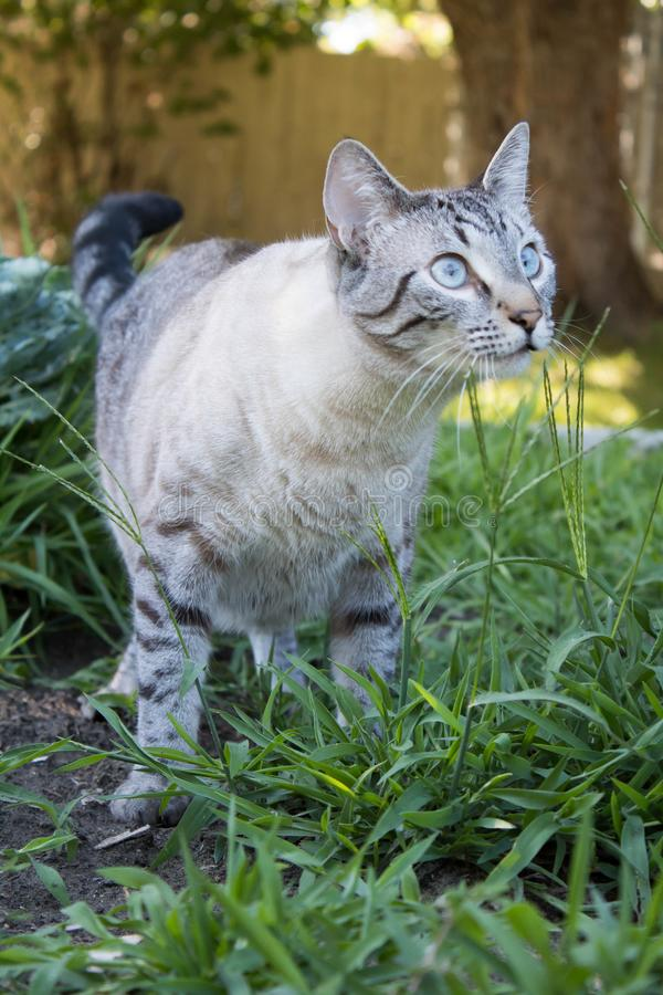 Lynx Point Siamese cat outside stock photo