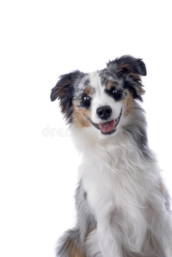 Download Blue-eyed Miniature Australian Shepherd Stock Image - Image: 26470643