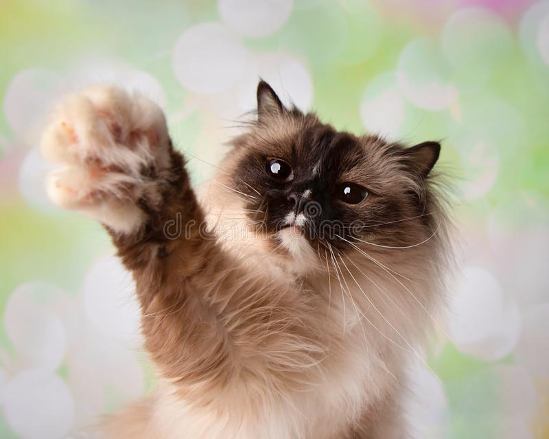Blue Eyed Ragdoll Breed Cat Close Up Face with Paw Up stock image