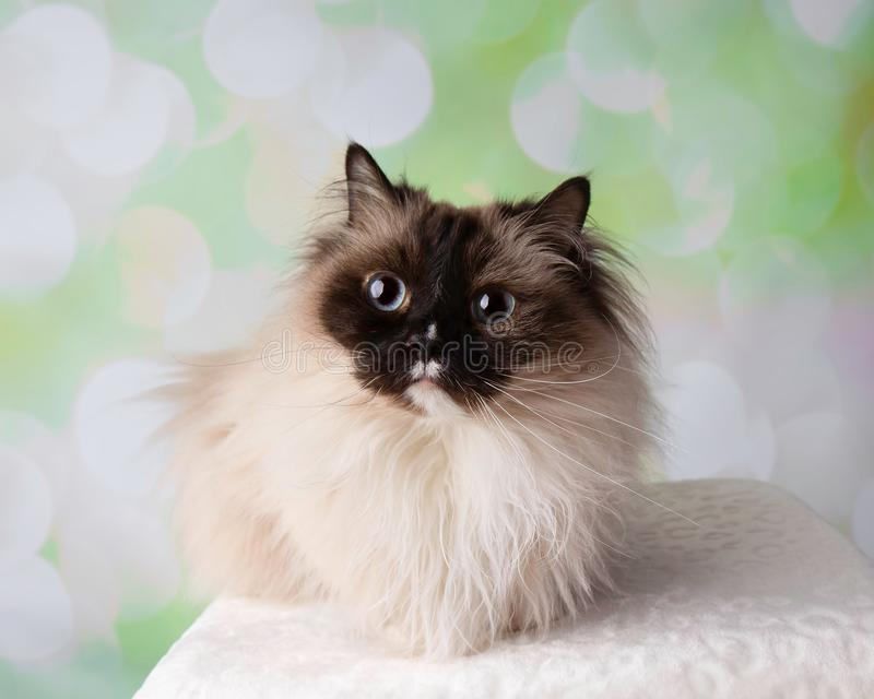 Blue Eyed Ragdoll Breed Cat Lying Down Wide Eyes. On a Colorful Spring Background royalty free stock photos