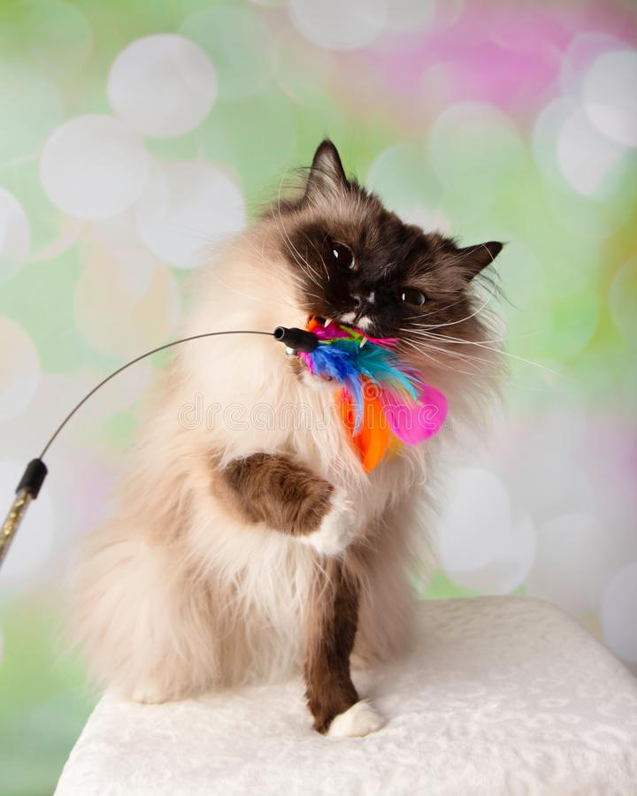 Blue Eyed Ragdoll Breed Cat Sitting Playing and Biting Feather Toy. On a Colorful Spring Background stock photography