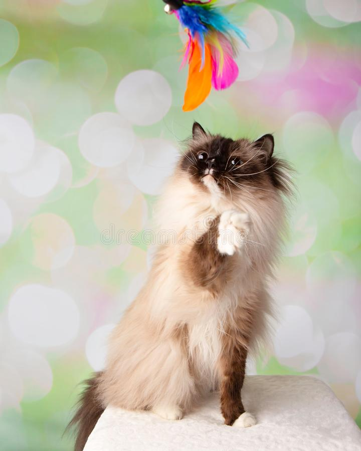 Blue Eyed Ragdoll Breed Cat Sitting Playing with Feather Toy Looking Up stock photos