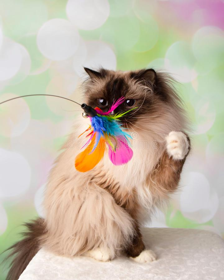 Blue Eyed Ragdoll Breed Cat Sitting Swatting Feather Toy. On a Colorful Spring Background stock photo