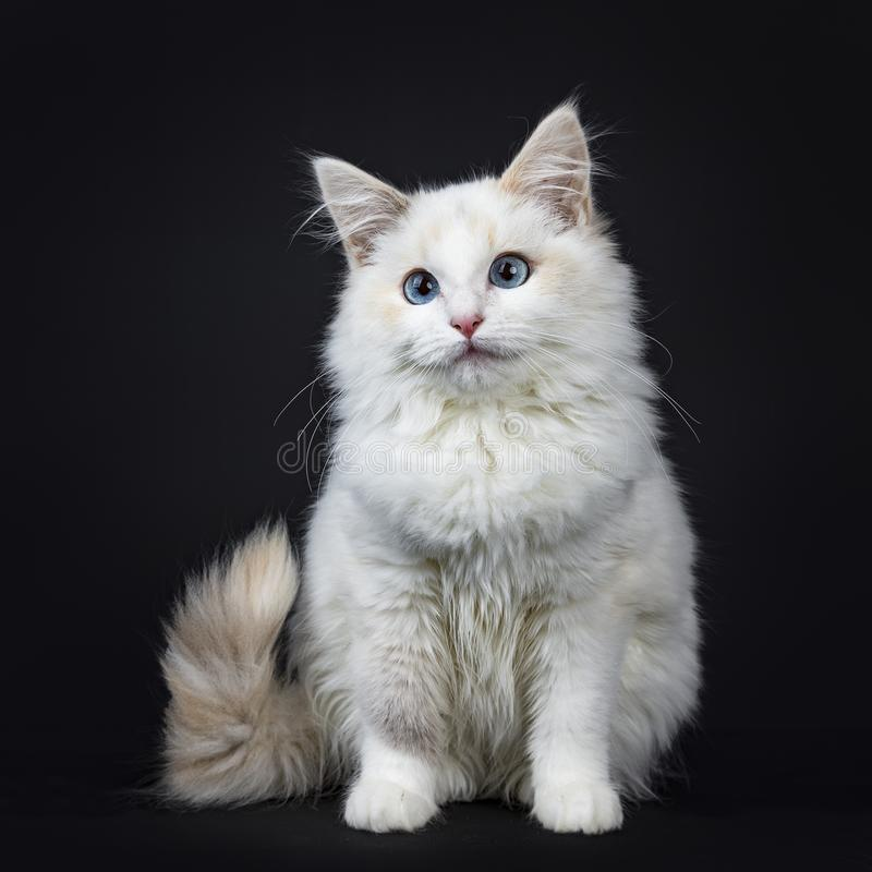 Blue eyed ragdoll cat / kitten sitting sideways isolated on black background looking up and with tail hanging from edge. Blue eyed ragdoll cat kitten on black royalty free stock images