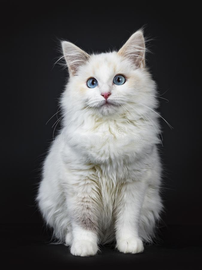 Blue eyed ragdoll cat / kitten sitting isolated on black background looking at the lens. Blue eyed ragdoll cat kitten on black background royalty free stock images