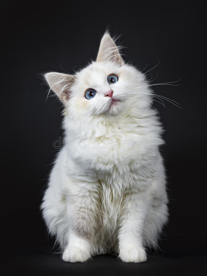 Blue eyed ragdoll cat / kitten sitting isolated on black background looking up with tilted head. Blue eyed ragdoll cat kitten on black background royalty free stock photo