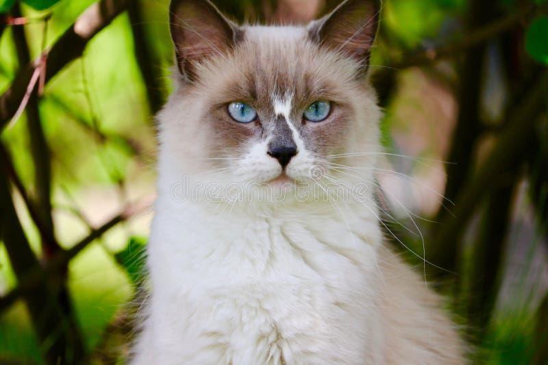 Blue-eyed ragdoll cat. A blue eyed ragdoll cat outdoors stock image